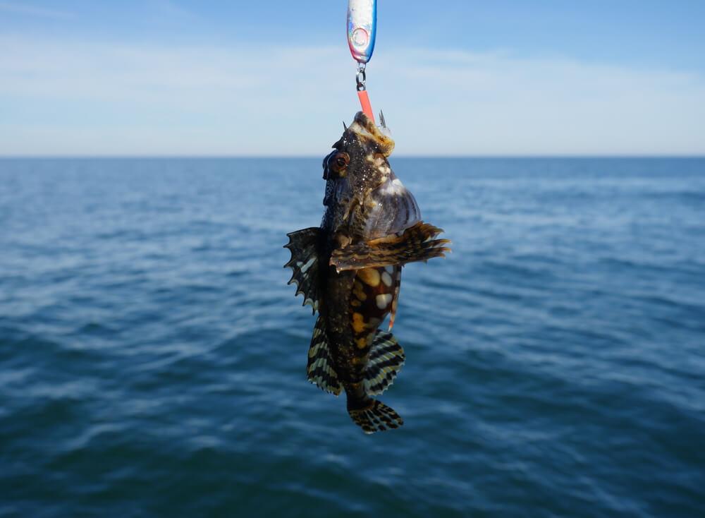 Sapo de mar o rape colgado de un anzuelo.