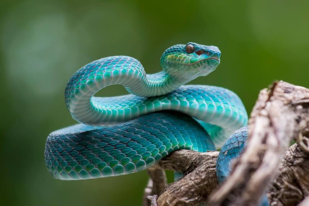 Serpiente azul.