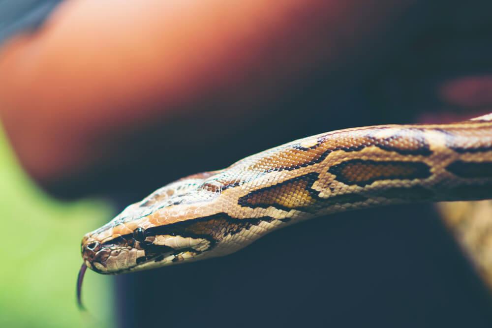 Serpiente como mascota.