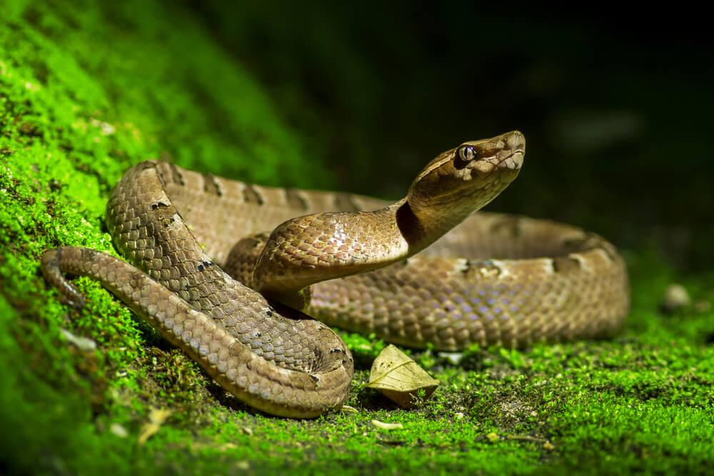 Diferencias entre serpiente, víbora y culebra