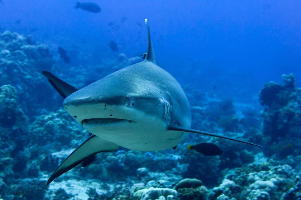 Adéntrate en el fascinante mundo del tiburón gris