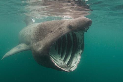 Tiburón peregrino: hábitat y características