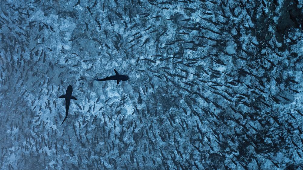 Tiburones grises con un banco de peces.