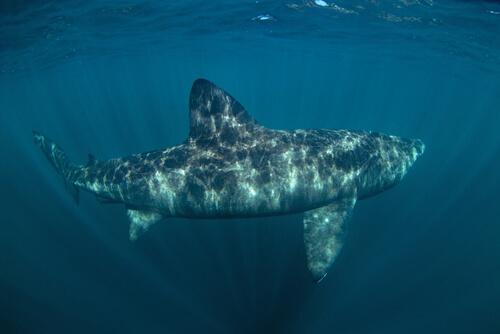 Tiburón peregrino en el mar.