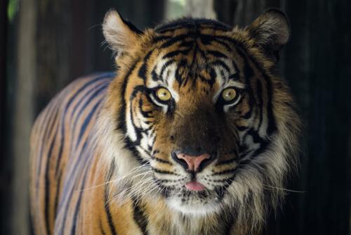 Tigre de frente.