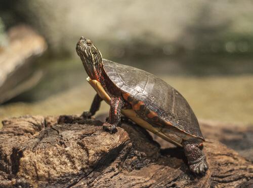 La importancia del sol para las tortugas de agua