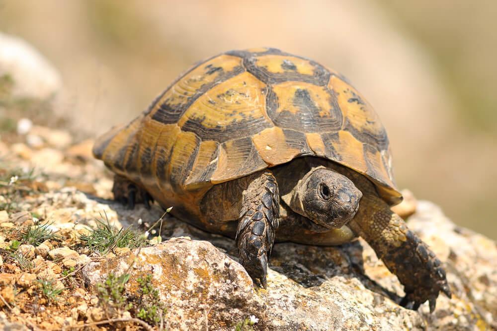Características de la tortuga mora.