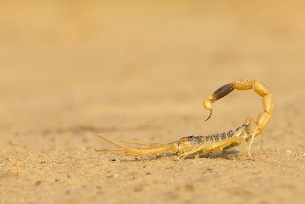 Veneno del escorpión