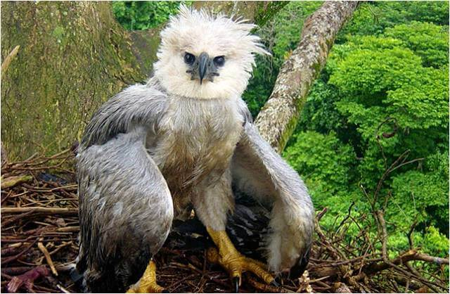 Cría de águila arpía
