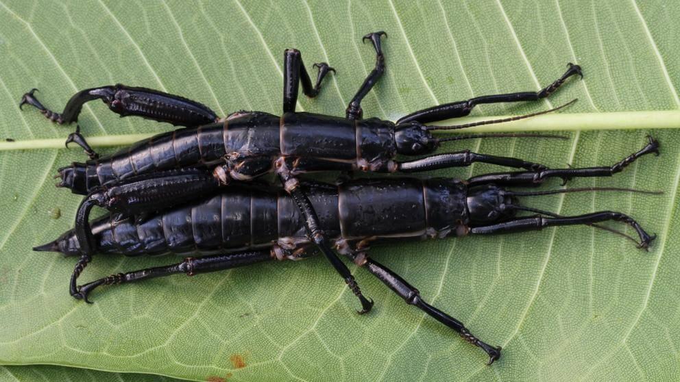 Insecto palo de Howe: el insecto más raro del mundo