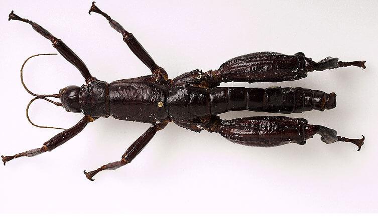 Insecto palo de Howe en el Museo de Historia Natural de Australia