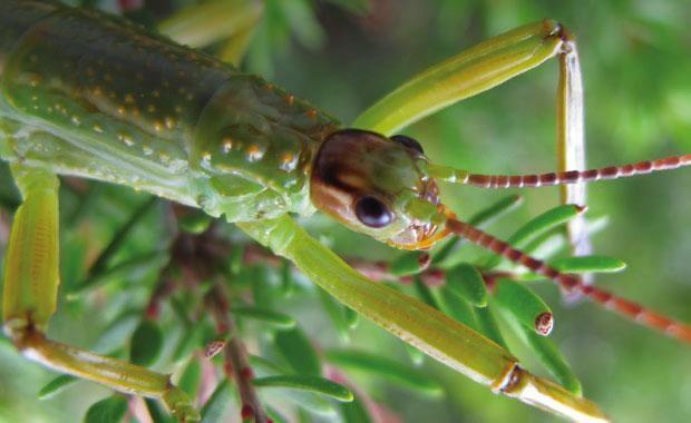 Insecto palo de Howe juvenil