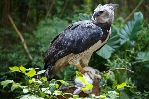 El águila arpía: hábitat y características