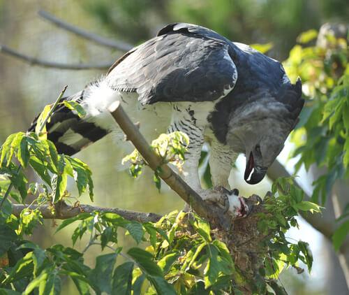 Águila arpía: hábitat y alimentación