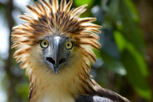 Todo lo que debes saber sobre el águila filipina, un gigante casi extinto