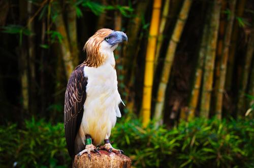 Águila filipina: hábitat