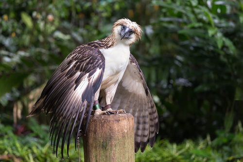 Águila filipina: reproducción