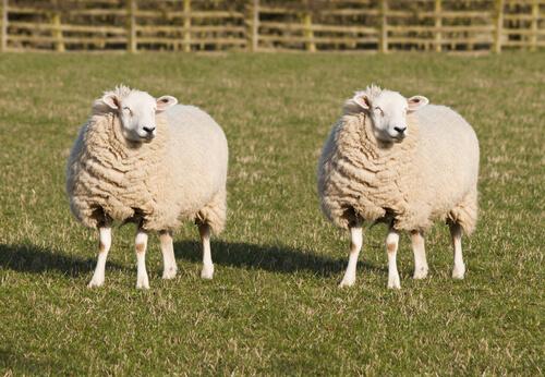 Animales transgénicos: oveja Dolly