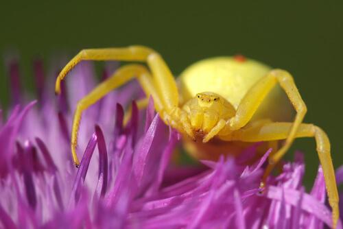 Araña cangrejo dorada (Misumena vatia)