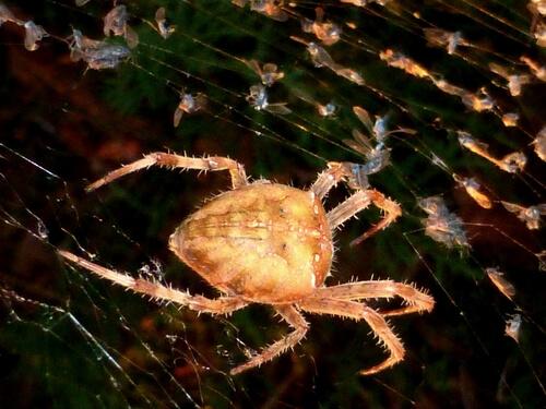 Araña cara de gato (Araneus gemmoides)