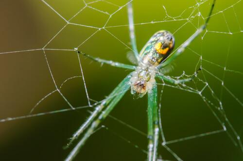Araña del huerto (Leucauge venusta)