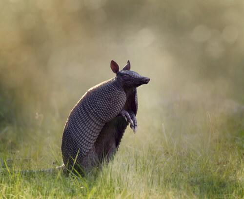 Conoce las características del armadillo, un animal escurridizo