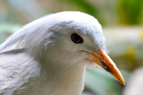 Características del ave kagú