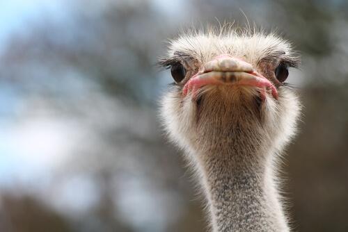 Hábitat y alimentación del avestruz