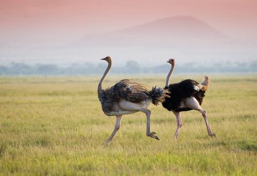 Avestruz: reproducción