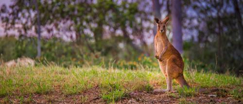 Características y curiosidades del canguro
