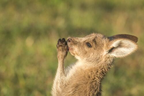 Canguro: curiosidades