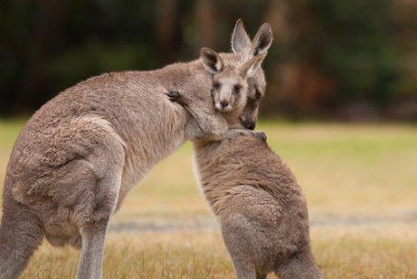Características y curiosidades del canguro - Mis Animales