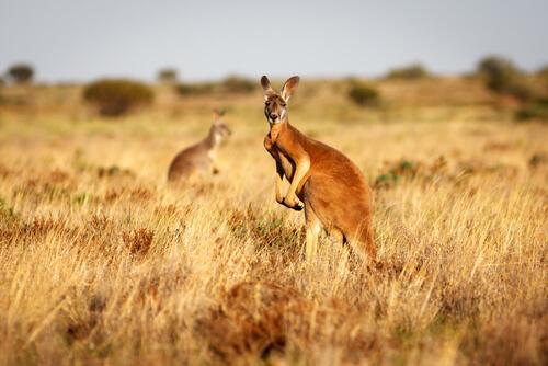 Conoce al canguro rojo, el indiscutible rey de Australia