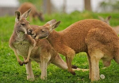 Canguro rojo: hábitat