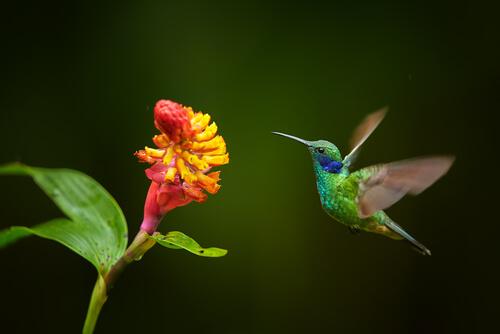 Características del colibrí
