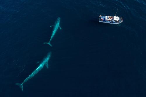 Japón seguirá con la caza de ballenas