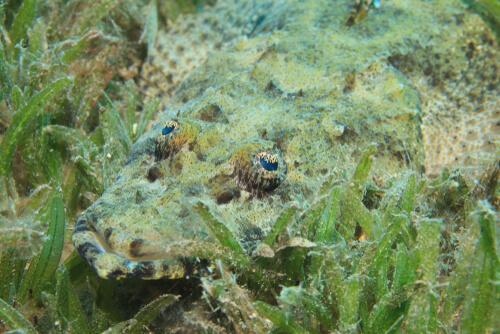 Cocodrilo marino: hábitat y características