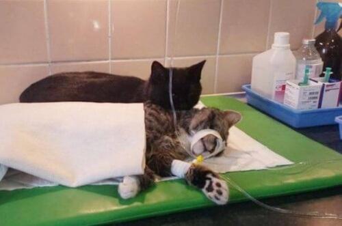 Cómo cuidar a un gato recién operado