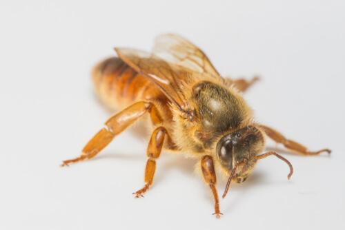Cómo nace una abeja reina
