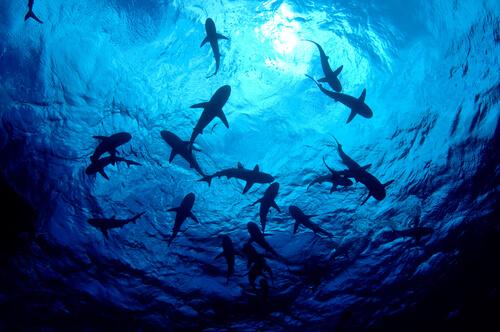 Cuando los tiburones cazaban pterosaurios