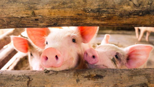Curiosidades del cerdo