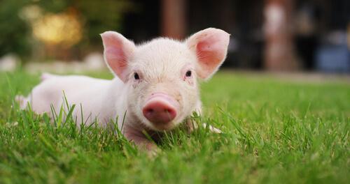 Domesticación del cerdo