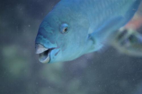 Dónde vive el pez loro azul