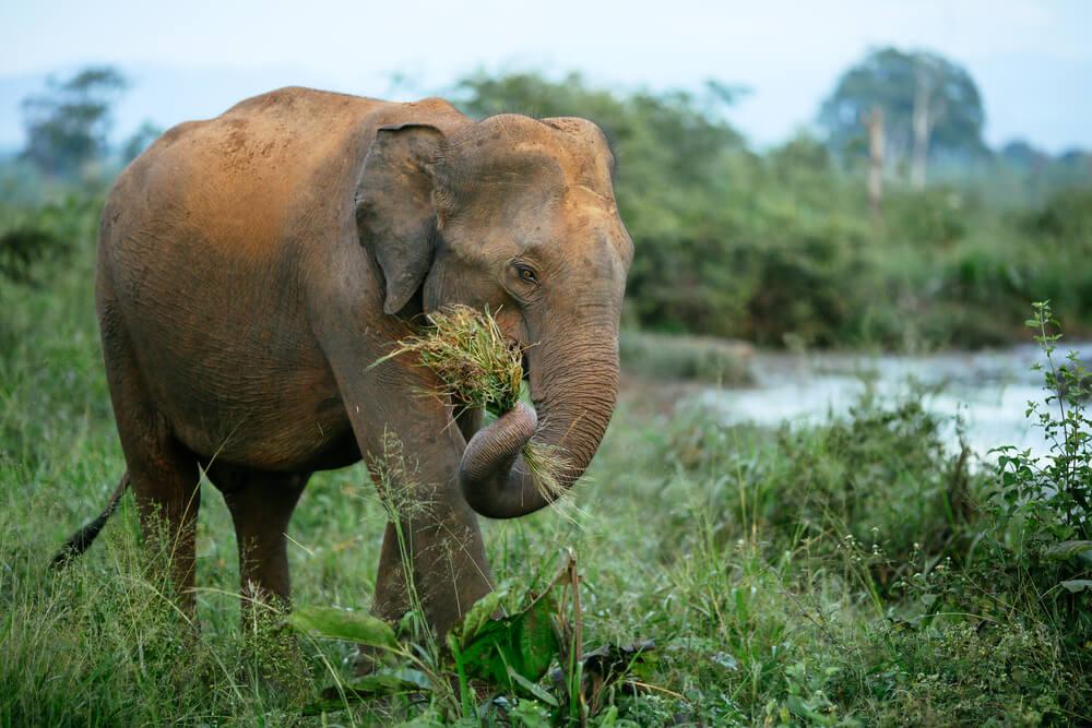 Elefante herbívoro.