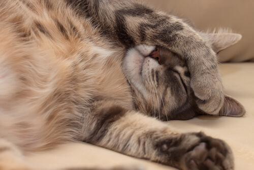 Cómo reconocer enfermedades del corazón en gatos