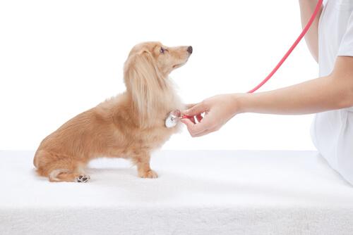 Cómo reconocer enfermedades del corazón en perros