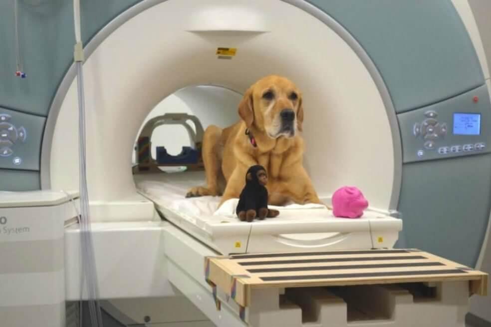 Estudio de resonancia magnético en perros