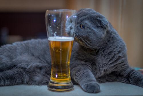 Gato que bebe cerveza