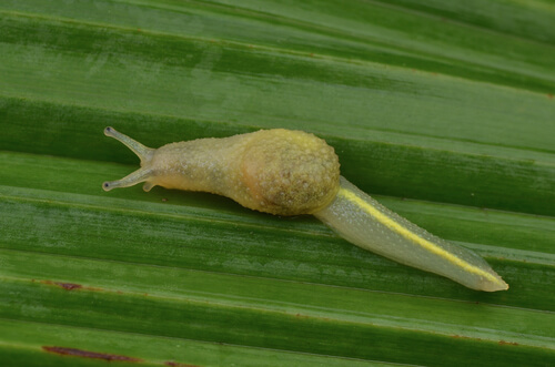 Ibycus rachelae