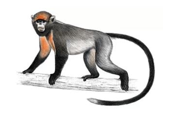 Langur gris de nariz chata (Rhinopithecus brelichi)
